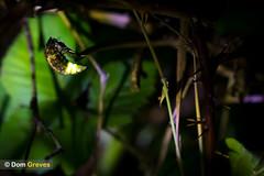 Sleeping Beauty (Dom Greves) Tags: uk summer night insect nocturnal wildlife beetle july dorset arne firefly purbeck invertebrate glowworm heathland coleoptera bioluminescence lampyrisnoctiluca domgreves