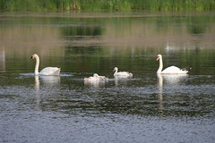 Summertime fun-2.jpg (raggedyandy321) Tags: heron nature water grass birds reflections swan fishing pond fuzzy signet rare blackbird greatblueheron peacefull beachbird birdsfishing