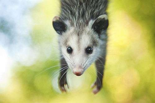 Baby Opossum by FragilePhoto