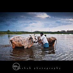 KoWash |   (ayashok photography) Tags: morning india man cow nikon indian working july dude washing tamilnadu 2011 ruralindia thenkasi ayashok nikond300 tokina1116mm aya8862