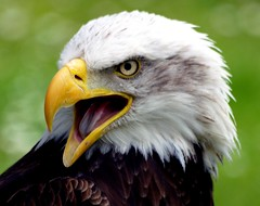 Bald Eagle Portrait - Buzzard2001