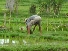 Bali, Reisfelder bei Ubud - Reisbauer bei der Arbeit (165) (dendroaspis2008) Tags: bali feet indonesia foot landwirtschaft pies pied pieds bf piede piedi indonesien onthejob f