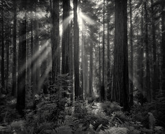 Redwood light rays - 4x5 HP5+ (Zach Boumeester) Tags: park wood light red film del analog creek ray graphic state large 150 special mc trail coastal national plus epson 4x5 lf hp5 crown format redwood rodinal sequoia ilford largeformat norte graflex damnation lightray sempervirens 75mm rodenstock 4990 godray r09 caltar grandagon f68