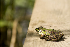 Frog (Cecilia Adolfsson) Tags: wood nature water animal closeup sweden reptile frog toad malmo groda skane husie