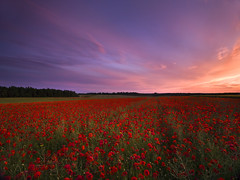 Wiltshire Poppies (peterspencer49) Tags: sunset sky poppy poppies wiltshire poppyfields peterspencer hasslebladhd3ll39