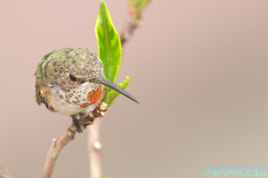 Allen's Hummingbird 080111-2