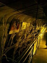 飛騨大鍾乳洞で見つけたウドの写真