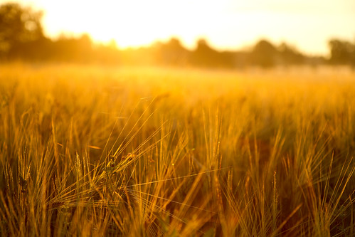 Korn i soluppgången.
