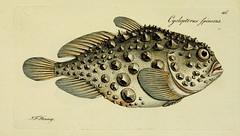 Anglų lietuvių žodynas. Žodis lumpsucker reiškia 1) apvaliapelekinės2) ciegorius3) jūrų rupūžė lietuviškai.
