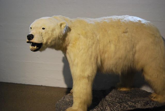 Oso polar del Museo Fram de Oslo