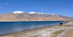 Oh! darkly, deeply, beautifully blue (Sneha Vachhaney) Tags: blue sky india lake snow man mountains water solitude hills leh ladakh tsomoriri