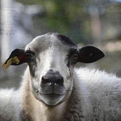 Pura lana virgen (acativa) Tags: sheep textures animales texturas oveja ovejas itsthelittlethings magicunicornverybest magicunicornmasterpiece sbfmasterpiece ldlportraits texturetuesdays sbfgrandmaster