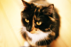 picture purrfect (maggyvaneijk) Tags: light pet white blur film cat 35mm fur nose wooden eyes beige furry triangle focus soft floor natural minolta fluffy whiskers phoebe ear purr xge