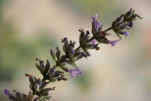 [217/365] Lavender by goaliej54