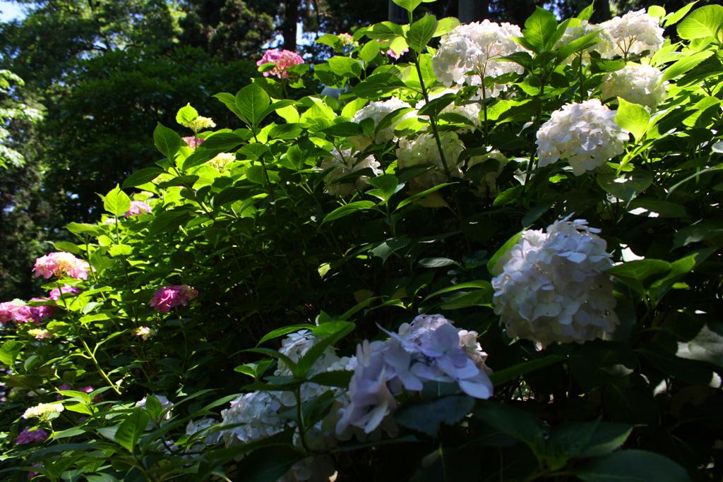 Kita Kamakura Hydrangea spot (22)