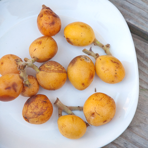 loquats blog sq.jpg