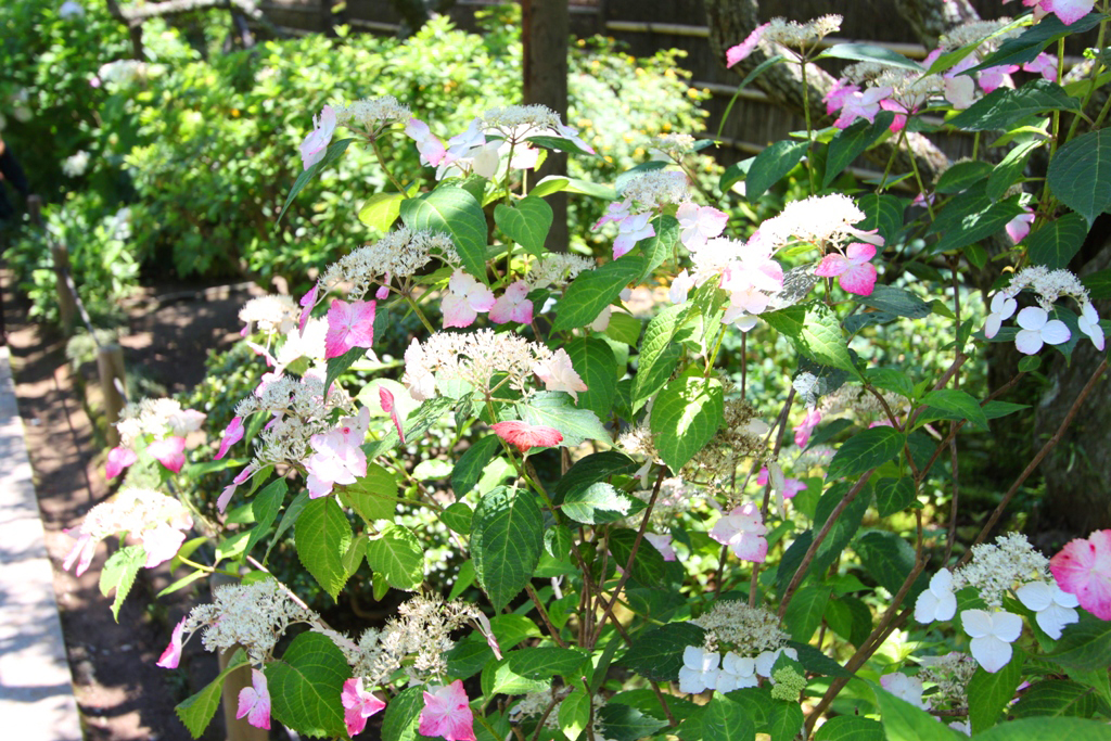 Kita Kamakura Hydrangea spot (24)