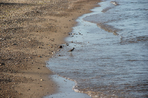 spotted sandpiper in the morning