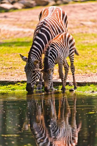 フリー写真素材, 動物, 哺乳類, シマウマ, 家族・親子(動物),