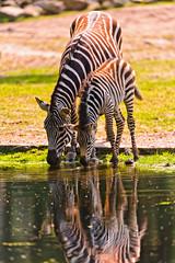 [フリー画像] 動物, 哺乳類, シマウマ, 家族・親子(動物), 201108111100