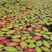 Lily pads on the Osgood River. Photo: Rose Rivezzi, Potsdam NY.