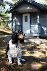 Niki by the guesthouse (Look at the Birdie!) Tags: tricolor springerspaniel nikita guesthouse archipelago skarprunmarn qvarnhilldreamdram