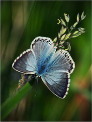 Common Blue (P i n u s) Tags: macro butterfly commonblue polyommatusicarus pinus bluling argusbleu