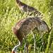 Rare four legged Sandhill Crane-6308