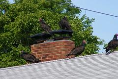 Turkey Vultures on the Empty House (Saline, Michigan) (cseeman) Tags: roof house birds realestate michigan vulture saline turkeyvulture turkeyvultures08302011