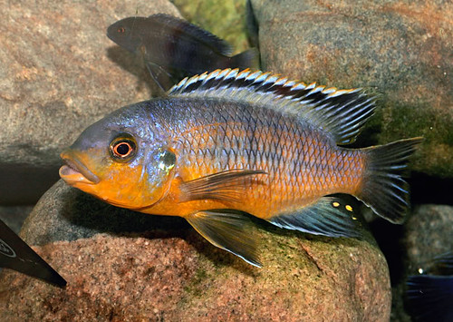 Petrotilapia tridentiger Luwala Reef