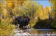 H O L Y...C O W (laura's Point of View) Tags: autumn color nature cow stream wildlife moose jackson wyoming aspen tetons jacksonhole grandtetonnationalpark grosventre lauraspointofview lauraspov