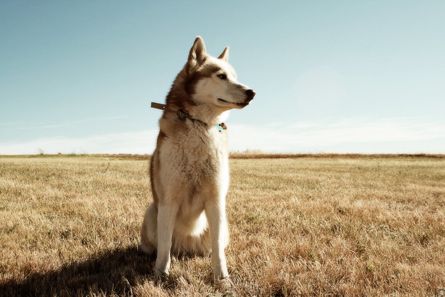 The Noble Husky