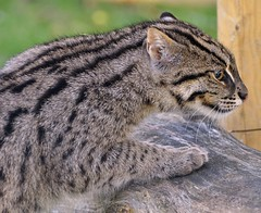 Fishing Cat on rock. (One more shot Rog) Tags: cats nature animal cat wildlife spot whiskers spots bigcat hunter bigcats hunt fishingcat headcorn wildlifeheritagefoundation whf fishingcats flickrbigcats