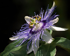 Passiflora (Foto Martien (thanks for over 2.000.000 views)) Tags: flower holland macro netherlands fleur dutch flor nederland tropical passiflora blume passionflower veluwe passionsblume bloem macrophoto maracuj passiebloem passiflore tropisch harskamp passionvine macrofoto macroopname zorgboerderij a550 zorginstelling mimamorflowers flickrflorescloseupmacros passiflorahoeve martienuiterweerd bestcapturesaoi martienarnhem sonyalpha550 mygearandme mygearandmepremium minoltamacro100mm28mm mygearandmebronze mygearandmesilver mygearandmegold mygearandmeplatinum mygearandmediamond ringexcellence dblringexcellence fotomartien musictomyeyeslevel1