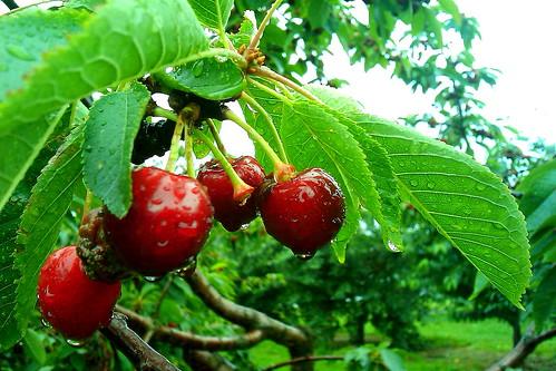 Cherries 201102