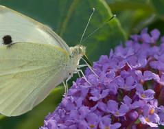 Cabbage White Feeding on Buddleia Nectar (Mister Electron) Tags: butterfly insect buddleia lepidoptera nectar pierisrapae cabbagewhite buddlejadavidii fujifinepixs9500 smallwhitebutterfly