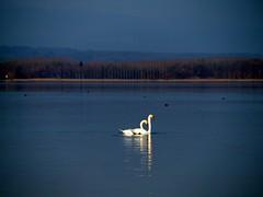 Murtensee 18 (fcharriere) Tags: lake switzerland raw lac olympus roseaux oiseaux morat canards murten murtensee roseraie lacdemorat e620 aperture3 fredericcharriere caricaie