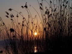 Murtensee 81 (fcharriere) Tags: lake switzerland raw lac olympus roseaux oiseaux morat canards murten murtensee roseraie lacdemorat e620 aperture3 fredericcharriere caricaie