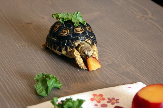 Genbu the Leopard Tortoise Eating 2