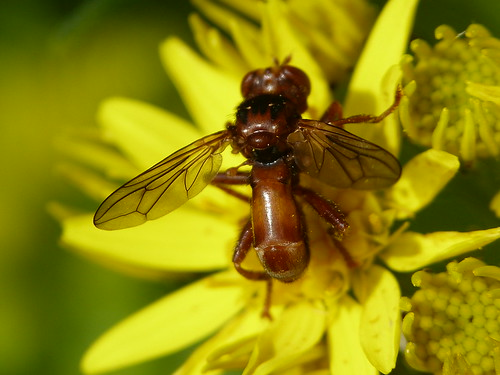 Thick-headed Fly (Sicus ferrugineus) by Peter Orchard