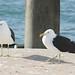 As gaivotas num cais em Auckland