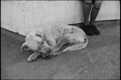 ira (OverdeaR [offline 'til July]) Tags: sleeping bw dog film 35mm mutt alley nikon f14 serbia stock streetphotography scan d76 negative scanned stray belgrade nikkor pas sick ilford fp4 beograd solution ais 20c srbija 3514 f301 8min homedev 100ei lutalica avlijaner meanac dod
