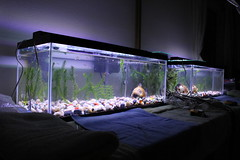 20 Gallon with Coralife twin fluorescent fixture (initialcorn) Tags: white fish ikea water 30 dark aquarium tank pebbles led fluorescent glowing 20 10000 guppy gallon guppies fluorite actinic substrate cabomba seachem anarcharis aquaclear fluval dioder