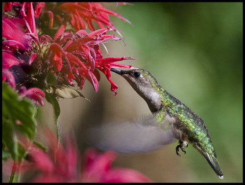 Female ruby-throated hummingbird at Beebalm 2 by Jen St. Louis