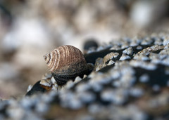 "Lone Snail on the Barnacles • <a style=""font-size:0.8em;"" href=""http://www.flickr.com/photos/30765416@N06/5941303729/"" target=""_blank"">View on Flickr</a>"