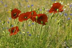 Poppies (Charliebubbles) Tags: canon eos explore poppy papaverrhoeas 400d canoneos400d