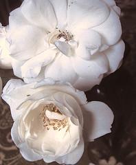 vildrosor ~ wild roses (Per Ola Wiberg ~ powi) Tags: flowers roses sweden flowerbox musictomyeyes floralia givemefive rosor 2011 favoriteflowers floralfantasy ekerö photopassion flickraward heartawards flickrsun exemplaryshotsflickrsbest flickrroseaward flickrestrellas worldofflowers flickr♥blooms peaceawards ♡beautifulshot♡ auniverseofflowers awesomeblossoms atouchofmagic flowercauleleaf angelawards atmphotography florisbella addictedtonature passionforflowers unforgettableflowers addictedtoflower flickrunitedaward selectedflowers flickrsgottalent flowersmania broochawards floresfioretuttifiori ☼☼☼hellofriend☼☼☼ pilisbeautifulphotogallery amazingandperfect
