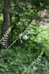 新治市民の森のオオバギボウシ(Lily, Niiharu Community Woods, Yokohama, Japan)