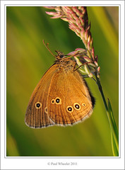 Ringlet Butterfly (Paul_Wheeler) Tags: uk brown macro nature closeup butterfly insect golden evening wings britain wildlife rings devon underside british ringlet aphantopus hyperantus