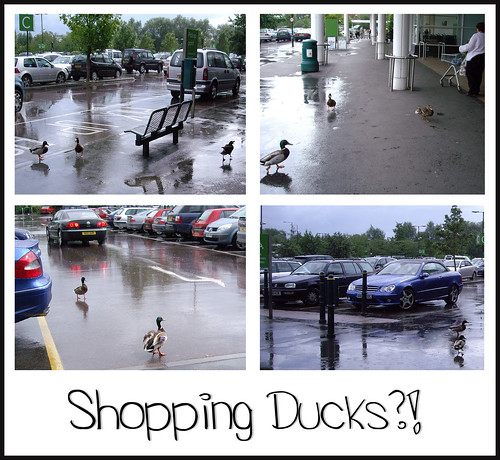 Shopping Ducks - Copyright R.Weal 2011